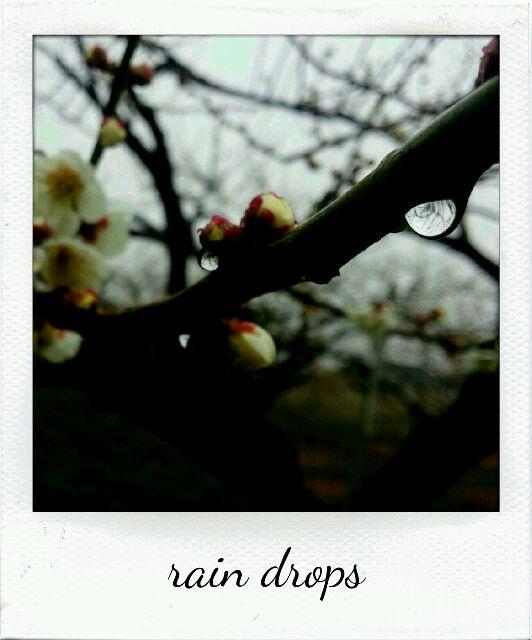 梅の花と水滴
